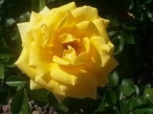 kathys roses 2 (yellow).jpeg