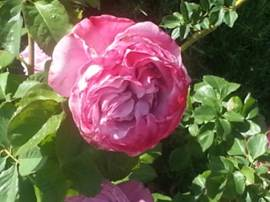 Kathys roses.jpeg