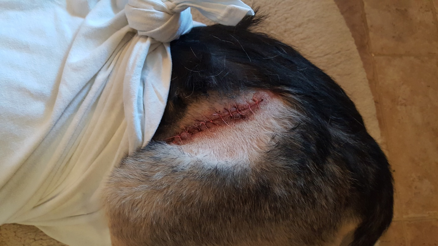 C:\Users\Barwick\Pictures\Dogs at Pahrump\lady after surgery 9-24-18 20180924_165918.jpg