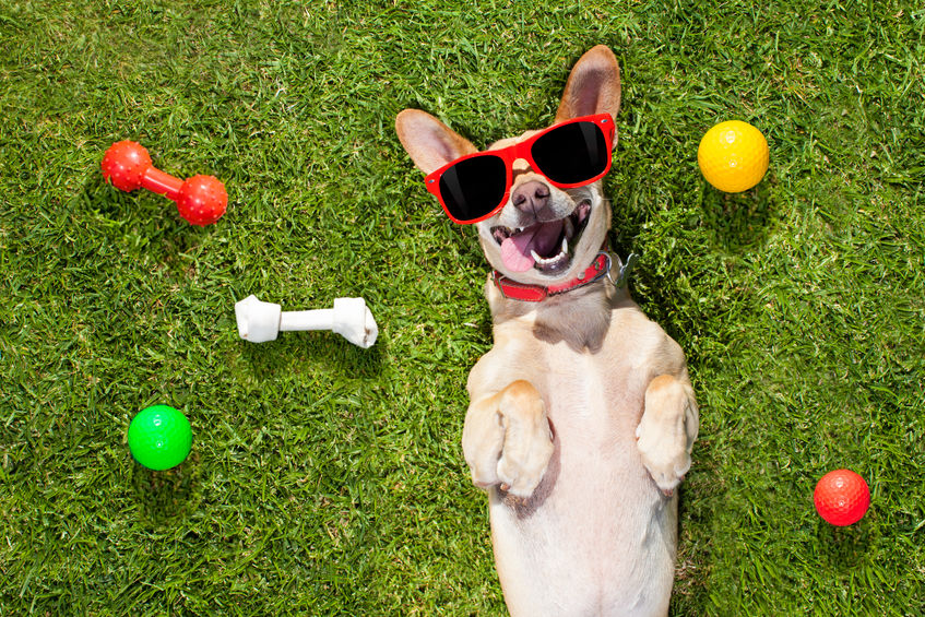 A happy dog laying in the grass with toys - Keep pets flea free with colloidal silver
