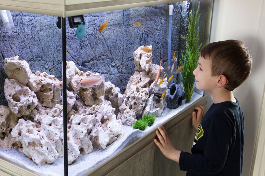 Child watching fish tank. Aquarium with cichlids - Colloidal Silver and Fish Aquariums: Successful Experiences