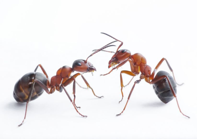 Two ants playing - Is Colloidal Silver Effective Against Ants?
