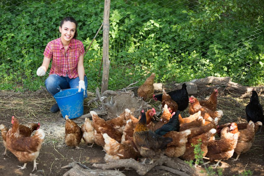 Woman tending chickens – Colloidal Silver for Healthier Chickens (and Other Birds, Too!)